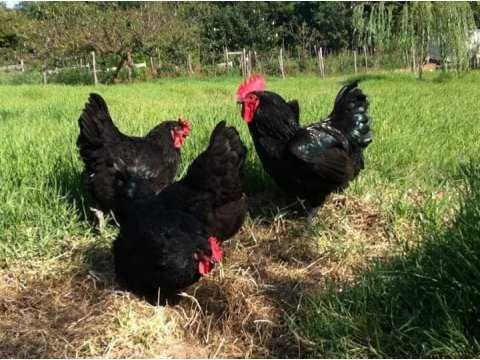 Orijinal Australorp Blue siyah splash ve LİGHT SUSSEX CİVCİV