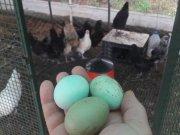 Ameraucana Araucana Mavi Yeşil Yumurtacı Genç Damızlık TAVUK