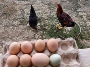 Mavi yeşil yumurtalar
